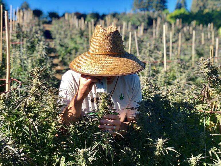 Crystal Weed Cannabis